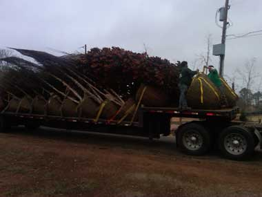 New trees arrive for one of Clay's projects